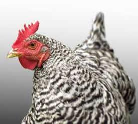 Chicken need Straw Bedding